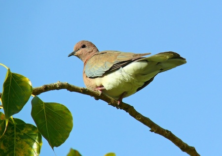 Laughing dove perching in a tree in Abu Dhabi in the United Arab Emirates