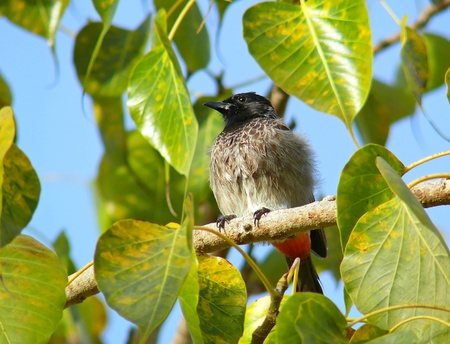 Red-vented Bulbul perched in a tree in Abu Dhabi in the United Arab Emirates