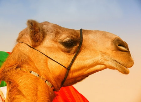 Profile of an Arabian Dromedary Camel in Abu Dhabi in the United Arab Emirates photo