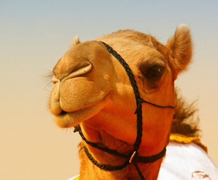 Face of an Arabian Dromedary Camel looking left in Abu Dhabi in the United Arab Emirates Stock Photo - 12474477