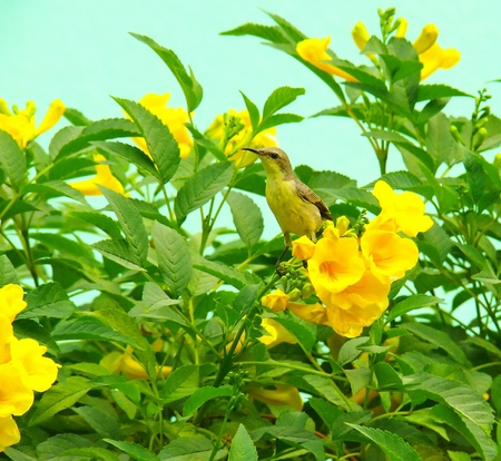 A female Purple Sunbird perched on a flower bush after eating nectar in Abu Dhabi in the United Arab Emirates  photo