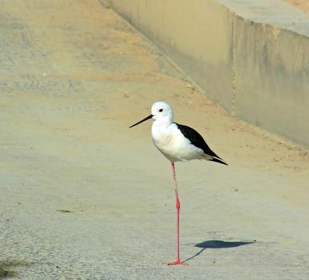 Black-winged Stilt resting on one leg in Abu Dhabi in the United Arab Emirates