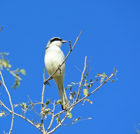 Great Grey Shrike perched on a tree looking right in Abu Dhabi in the United Arab Emirates