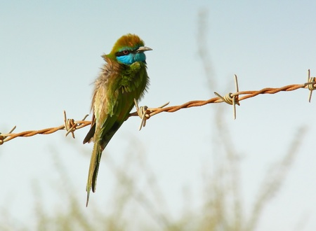 Green Bee-eater in the desert in Abu Dhabi in the United Arab Emirates photo