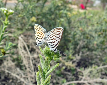 Two Tiger Blue butterflies mating in Abu Dhabi in the United Arab Emirates Stock Photo - 12961212