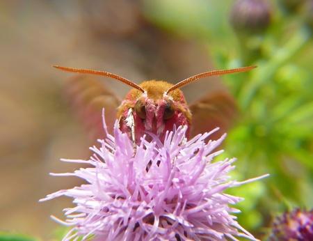 Elephant Hawk-Moth resting on a flower in England
