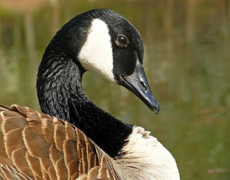 Canada Goose face in profile looking right