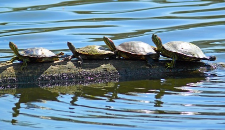 Red-eared Slider turtles basking in the sun on a log in Maryland photo
