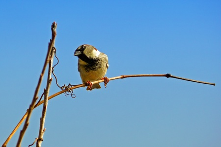 House Sparrow perching on a twig at sunset in Maryland Imagens