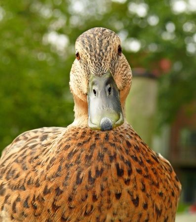 Closeup of the face of a female Mallard duck in Spring in Maryland photo