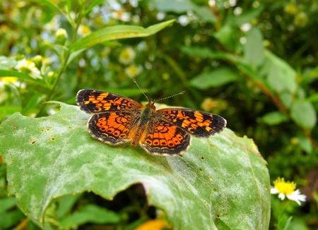 facing right: Pearl Crescent butterfly resting on a leaf in Maryland facing right