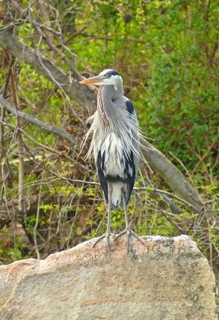 ardeidae: Great Blue Heron standing on a rock in a lake in Maryland