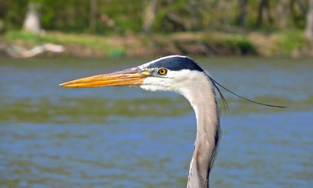 Face of a Great Blue Heron in detail looking left photo