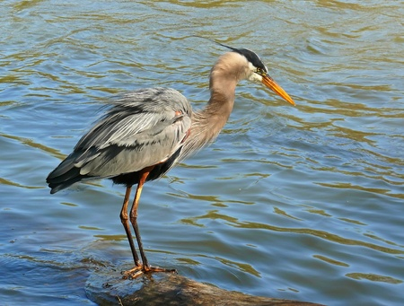 ardeidae: Great Blue Heron displaying plumage while standing on a log in a lake in Maryland