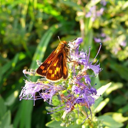 skipper: Pecks Skipper butterfly feeding on wildflowers in Maryland Stock Photo
