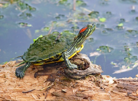 Young Red-eared Slider pond turtle basking on a log in Maryland in Spring Stock Photo