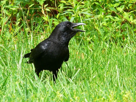 American Crow standing in the grass in Spring in Maryland Stock Photo