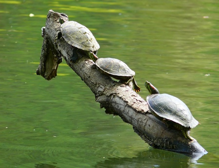 Trio of Red-eared Slider turtles basking in the sun on a log in Spring in Maryland photo