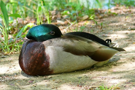 Male Mallard duck resting on the ground in Maryland photo