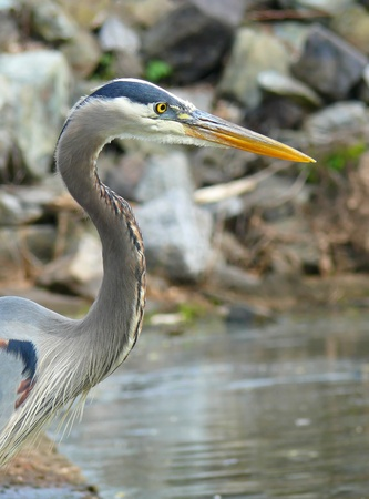 Profile of a Great Blue Heron hunting in a lake in Maryland