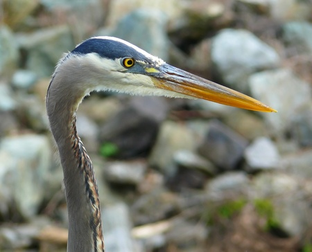 Profile of the face of a Great Blue Heron in Maryland Stock Photo - 13464566