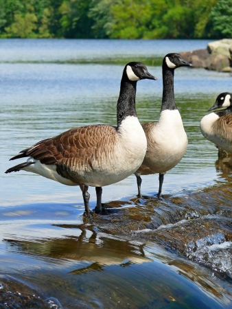 Canada geese standing on a dam in Maryland Stock Photo