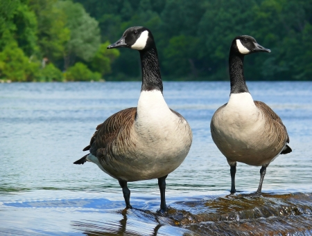Pair of Canada geese standing on a dam in Maryland Archivio Fotografico