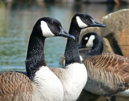 Profile of the faces of two Canada geese in Maryland photo