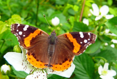 Red Admiral butterfly basking in the sun in Maryland in Spring photo