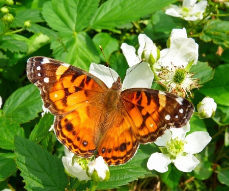 vanessa: American Painted Lady butterfly basking in the sun in Maryland in Spring