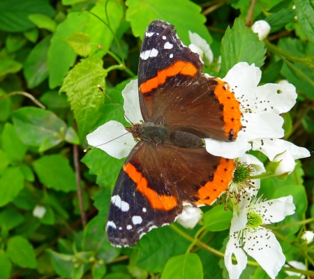 admiral: Red Admiral butterfly basking in the sun in Maryland in Spring
