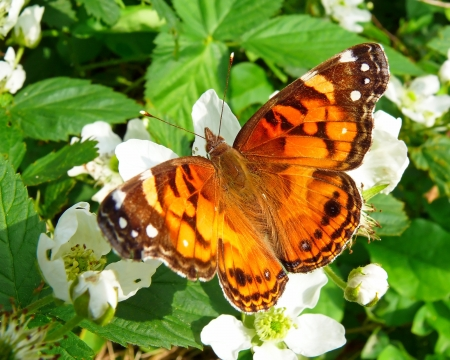 north american butterflies: American Painted Lady butterfly basking in the sun in Maryland in Spring