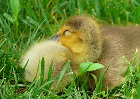 Young Canada goose gosling sleeping in the grass in Maryland photo