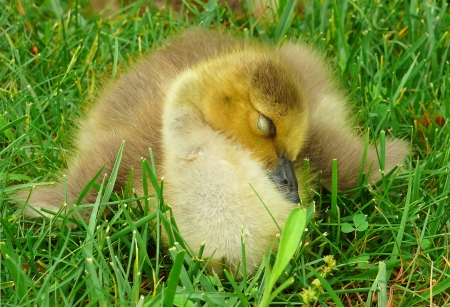 Young Canada goose gosling sleeping in the grass in Maryland Stock Photo - 13700465