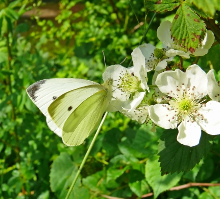 Cabbage White butterfly feeding on nectar in Maryland photo