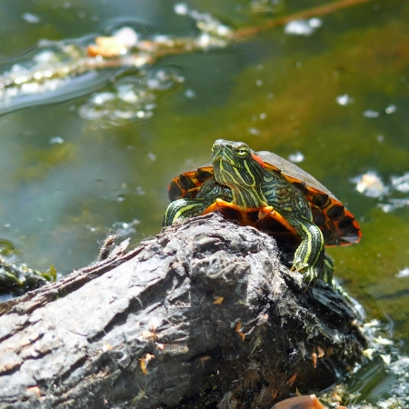 Red-Eared Slider pond turtle basking in the sun on a log in Maryland Stock Photo - 13700479