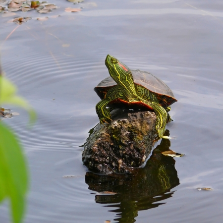 Red-Eared Slider pond turtle basking in the sun on a log in Maryland photo