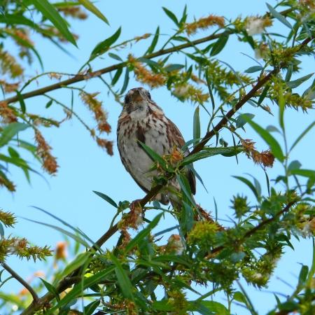 Gorrión posado en un árbol en Maryland en la primavera Foto de archivo - 13737967