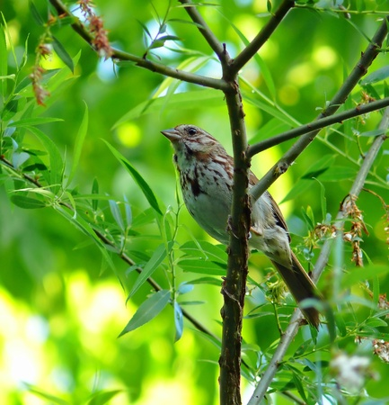 Song Sparrow perching on a twig in Maryland in Spring