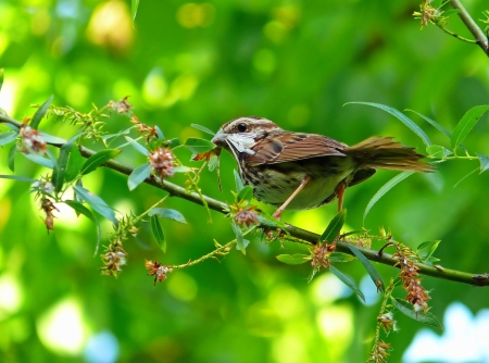 Song Sparrow holding a dragonfly in its beak in Maryland in Spring