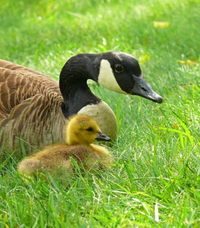Canada goose parent and gosling resting in vegetation in Maryland in Spring Stock Photo - 13751571