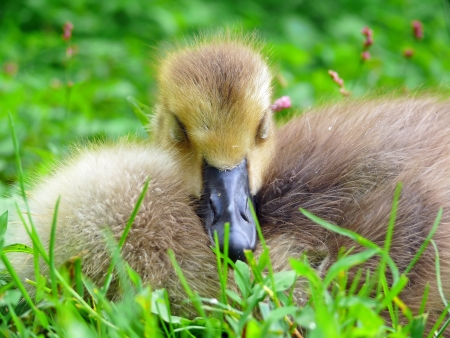 Young Canada goose gosling sleeping in vegetation in Maryland during Spring photo