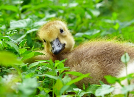 Young Canada goose gosling resting in vegetation during the Spring in Maryland photo