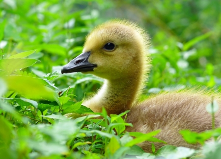 Profile of the face of a very young Canada goose gosling in Maryland during the Spring photo
