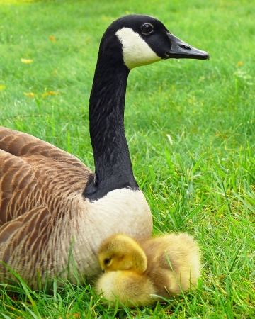 Canada goose parent and gosling resting in vegetation in Maryland in Spring