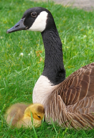 Canada goose parent and gosling resting in vegetation in Maryland in Spring  photo