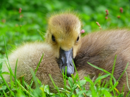 Very young Canada goose gosling resting in vegetation in Maryland during Spring photo