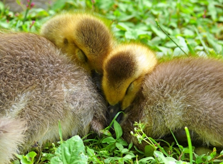 Two young Canada goose goslings snuggled together sleeping in Maryland during Spring Stock Photo - 13800790