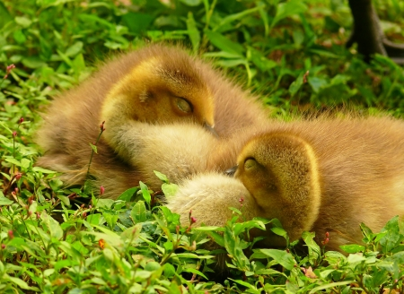 Two young Canada goose goslings snuggled together sleeping in Maryland during Spring Stock Photo - 13800787