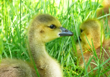 Canada goose goslings resting in grass in Maryland during the Spring Stock Photo - 13850914
